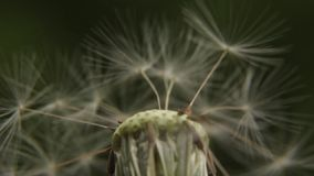 Closeup of a white dandelion. Stock video footage HD / 1920-1080 / MOV / Codec H.264 / 25 fps stock video footage