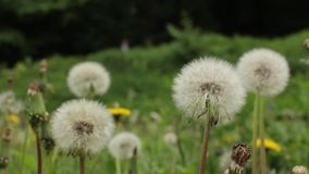 Closeup of a white dandelion. Stock video footage HD / 1920-1080 / MOV / Codec H.264 / 25 fps stock footage