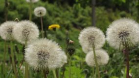 Closeup of a white dandelion. Stock video footage HD / 1920-1080 / MOV / Codec H.264 / 25 fps stock video