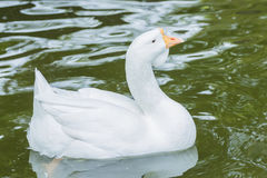 Closeup White duck swimming in the lake. At farm stock photo