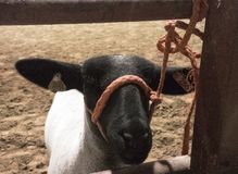 Closeup of white sheep with black face. Closeup of white ewe sheep with black face wearing red halter tied to fence stock photography