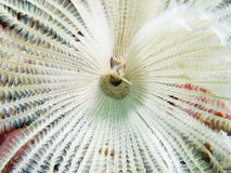 Closeup of a white feather duster worm Royalty Free Stock Photos