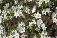 Closeup of white five petaled plum flowers. Close up of white five petaled plum flowers Stock Photo