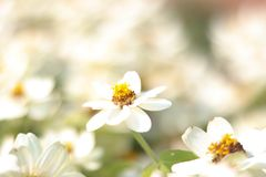 Closeup white flower on bulr white flowers background. - image stock photography