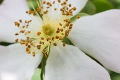 Closeup of White Flower Seeds. A Full Closeup of White Flower Seeds and Petals Royalty Free Stock Images