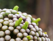 Closeup of white-flowered brunia Stock Photography