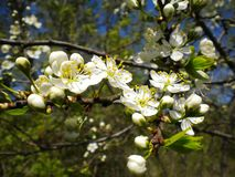 Blooming trees with white flowers on a spring afternoon royalty free stock images