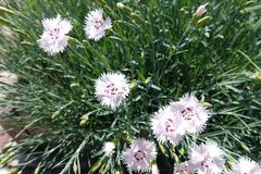 Closeup of white flowers of garden pink in May royalty free stock photos