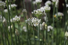 Closeup of white flowers of the garlic chives ,Allium tuberosum . Medicinal plants, herbs in the organic garden. Closeup of white flowers of the garlic chives Royalty Free Stock Image