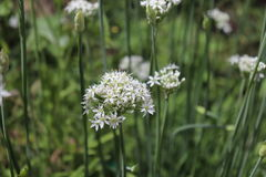Closeup of white flowers of the garlic chives Allium tuberosum . Medicinal plants, herbs in the organic garden . Blurred. Closeup of white flowers of the garlic Stock Images
