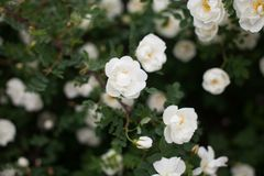 Closeup Of White Flowers On The Wild Rose Bush royalty free stock photos