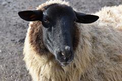 Closeup of a white fluffy sheep with a black head. In Germany Stock Photo