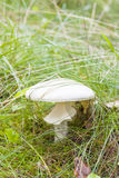 Closeup of white fly agaric in grass Royalty Free Stock Photography