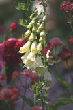 White foxglove and red roses. Closeup of white foxglove growing in a cottage garden in front of red roses Stock Photo