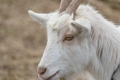 Closeup of a white furred goat. Closeup of a male domesticated goat Royalty Free Stock Images