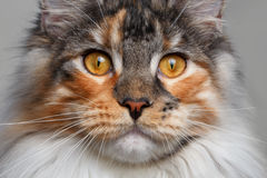 Closeup white with ginger Maine Coon cat Stock Photo