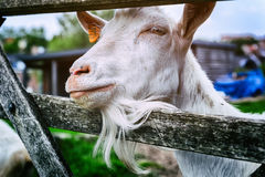 Closeup on white goat Stock Photos