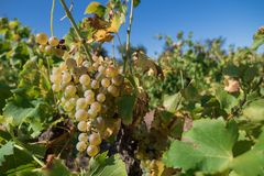 White grapes in a wineyard Royalty Free Stock Photos