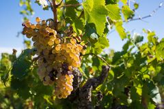 White grapes in a wineyard Stock Photography
