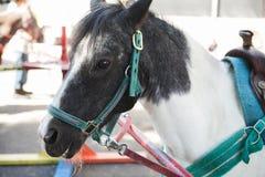 Closeup of a white and gray pony horse Stock Photo
