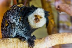 Closeup of a white headed marmoset, a tropical monkey from brazil, popular exotic pets. A closeup of a white headed marmoset, a tropical monkey from brazil stock image