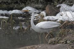 Closeup of White Heron standing in a beach. royalty free stock photos
