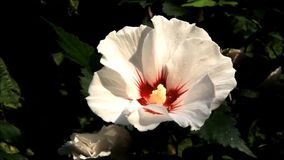 Closeup white hibiscus flower with pollen stock video footage
