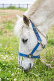 Closeup of a white horse eating grass at a meadow Stock Image