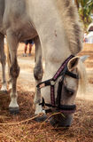 Closeup white horse with harness eats dry grass near beach Royalty Free Stock Photography