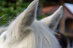 Closeup of a white horse`s mane and ears. The mane is brushed over the neck of the horse. The ear is standing up royalty free stock images
