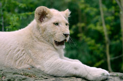 Closeup white lion cub Stock Photos