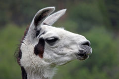 Closeup of a White Llama Royalty Free Stock Images