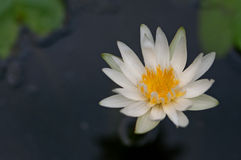 Closeup of white lotus floating on water Royalty Free Stock Image