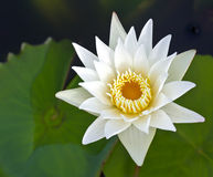 Closeup white lotus flower Royalty Free Stock Image