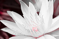 Closeup white lotus  flower Royalty Free Stock Photography