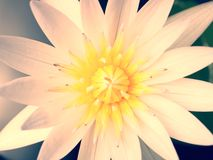 Closeup of White Lotus flower Royalty Free Stock Photos