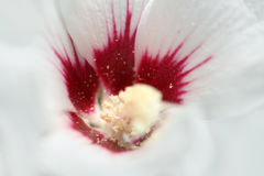 Closeup of a white mallow flower. Beauty mallow flower macro photo Stock Image