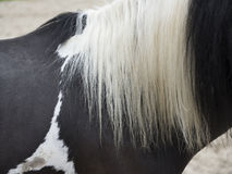 Closeup of white manes on black horse. Almost abstract closeup of long white manes on black horse Stock Photography