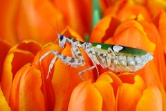 Closeup of white mantis in orange flowers Royalty Free Stock Photo