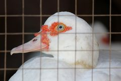 White muscovy duck. Closeup of white muscovy duck in farm Royalty Free Stock Photo