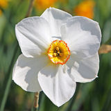 Closeup of a white narcissus flower Royalty Free Stock Images