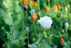 Closeup of white opium poppy Royalty Free Stock Images