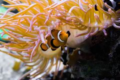 Closeup of a white and orange banded percula clown fish that is hiding under a sea anemone stock photos