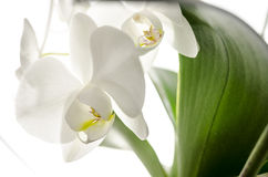Closeup of a white orchid Royalty Free Stock Photo