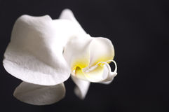 Closeup on a white orchid Royalty Free Stock Photo