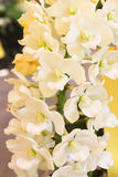 Closeup of White orchid flowers with green leaf Royalty Free Stock Photography