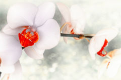 Closeup of white orchid flowers on light background. Flower back. Ground with copy space Royalty Free Stock Photo