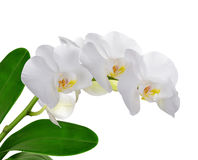 Closeup of a white orchid Stock Photos