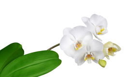 Closeup of a white orchid Royalty Free Stock Image