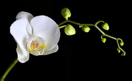 Closeup of a white orchid Stock Photography